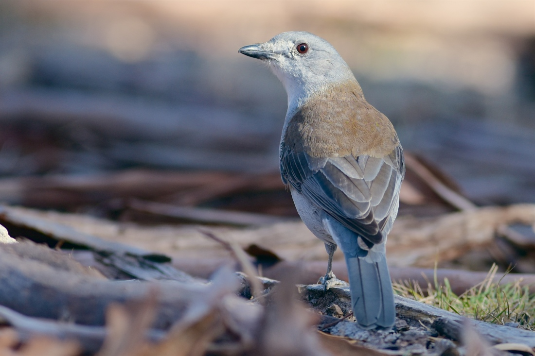 No Grey Box forest would be complete without a Grey Shrike-thrush or two. They look as good as they sound.