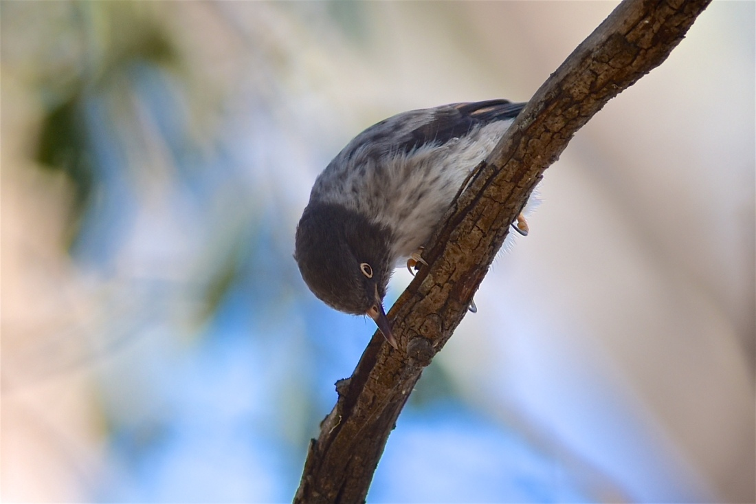 One of part of a squadron of Varied Sittella at work among the Grey Box
