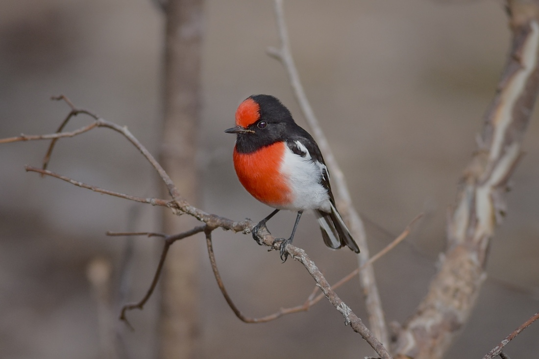 A male Red-capped Robin. Intent on discussion with a neighbor over territory rights.