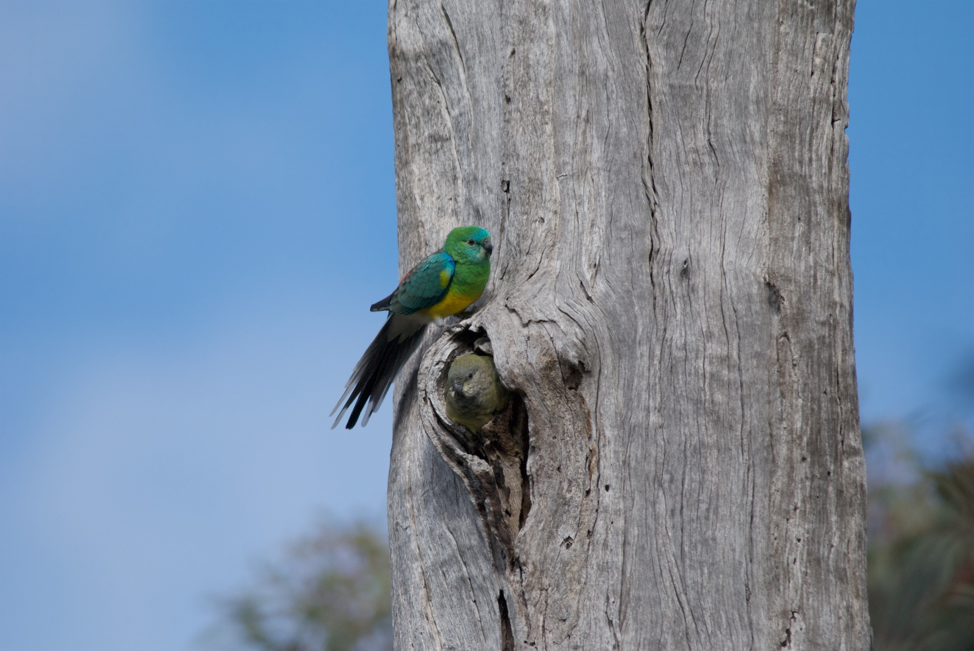 Gery Box provides a suitable nesting site. Here a pair of Red-rumoed Parrots are one of three pairs in this old tree.