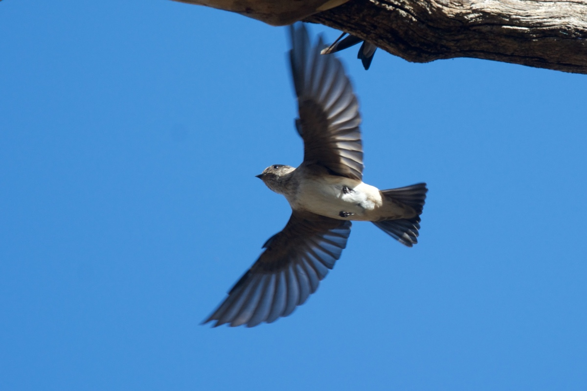 Tree Martin on the wing