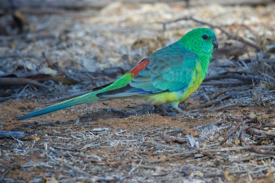 "When I was a little bloke, these were called ""Grass Parrots"".  Not so here."
