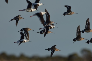 With Black-tailded Godwits.