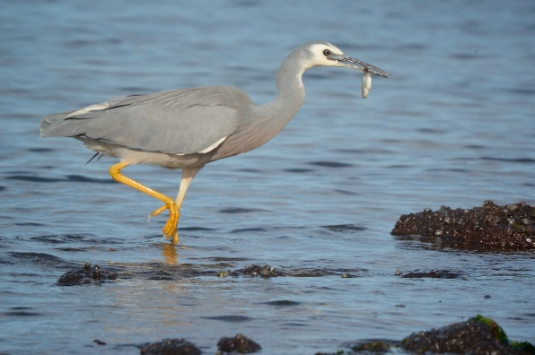 White-faced Heron, racing to shore so as not to lose its catch in the water.