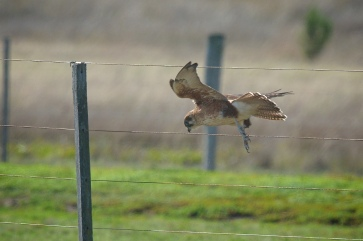 Brown Falcon. I thought it was going to sweep along the fence. But it simple jumped down to take a lizard