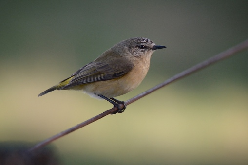 Yellow-rumped Thornbill.