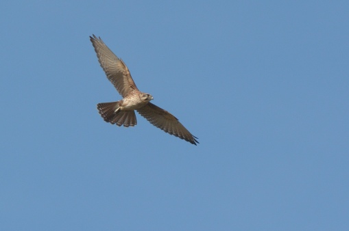 Brown Falcon on a turn