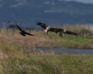 A raven moving on two scavenging Whistling Kites