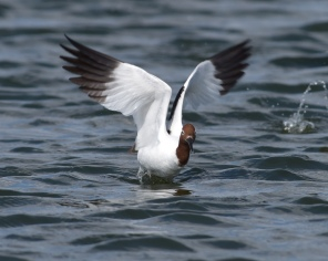 Red-necked Avocet at departure
