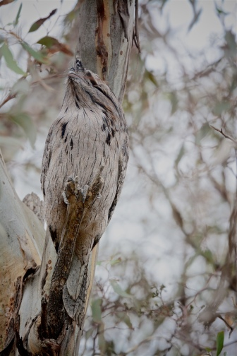 Tawny Frogmouth, looking up it was difficult at first to see it against the trunk