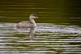 Ahh, water, in the lake. Hoary-headed Grebe is pleased to make use of the once more filled lake.