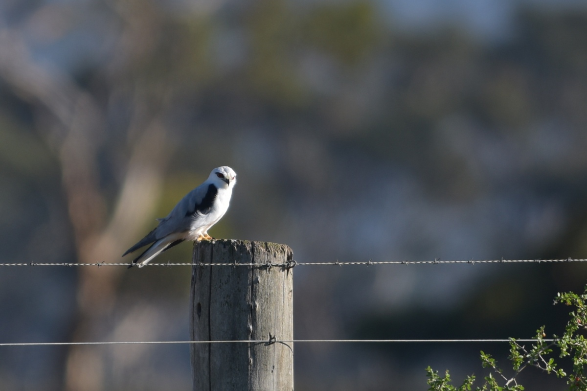 A fine start to the day with a Black-shouldered Kite warming in the morning sunshine