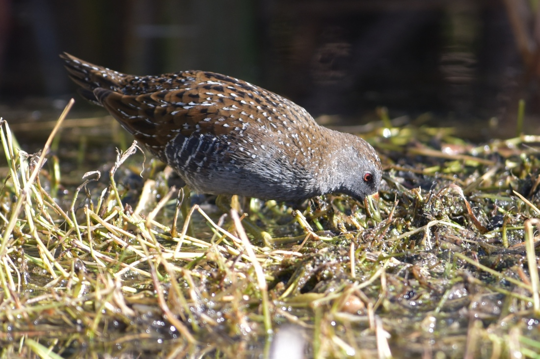 At Crake HQ, an Australian Crake on good display.