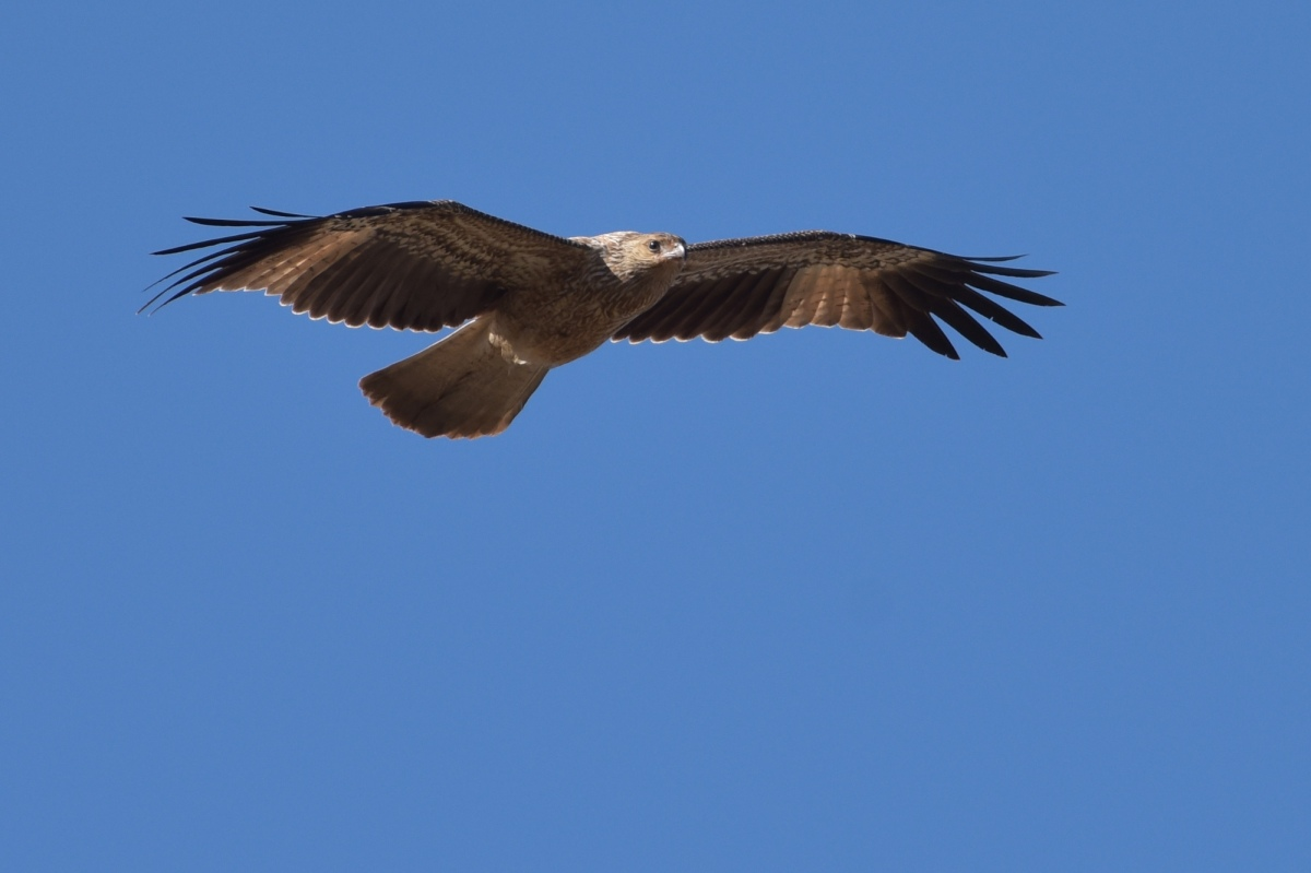A hunting we wiil go Whistling Kite over paddock