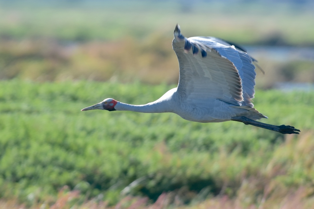 One of the finds of the day. Brolga in flight