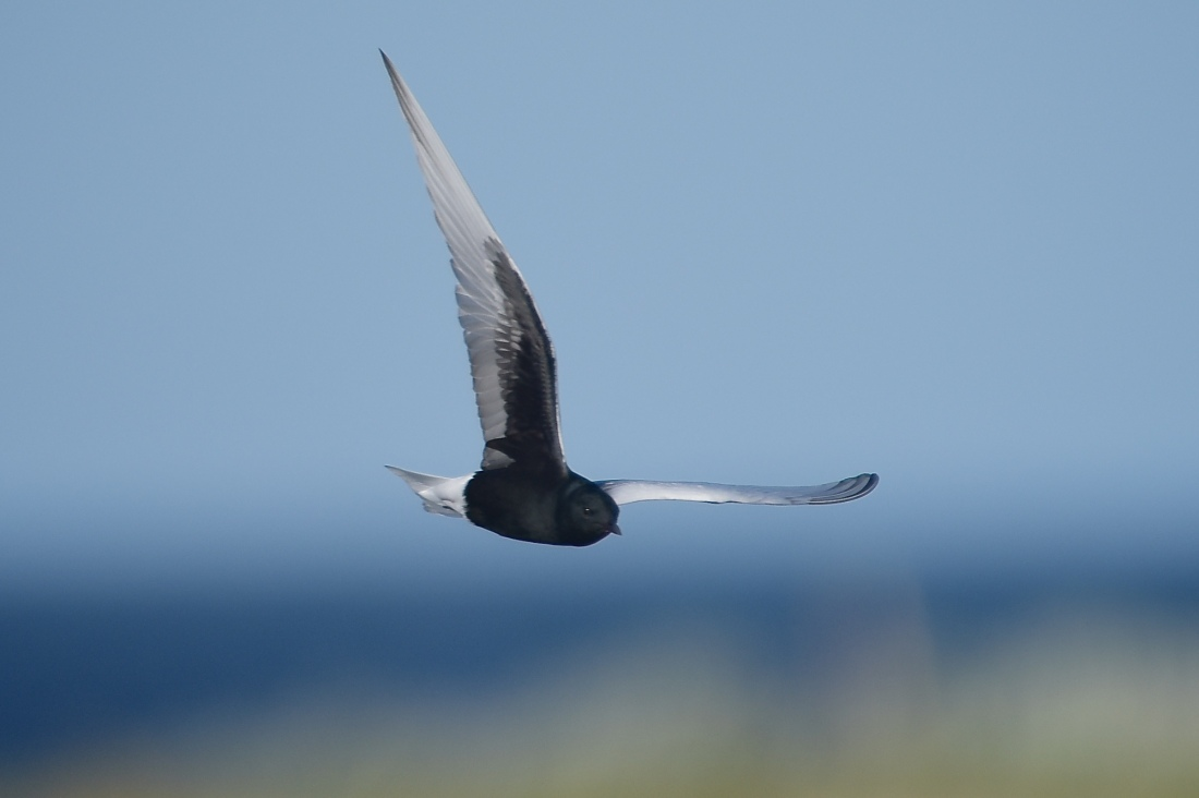 White-winged Tern. What a great find, and this one in full breeding plumage.