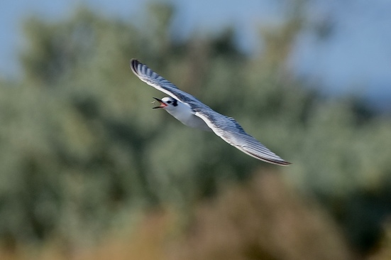 White-winged-Terns-01
