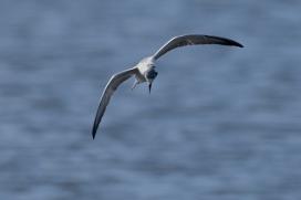 White-winged-Terns-02