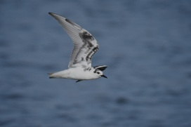White-winged-Terns-03