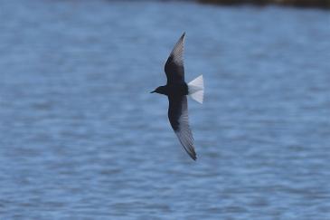 White-winged-Terns-05