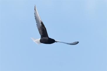 White-winged-Terns-06