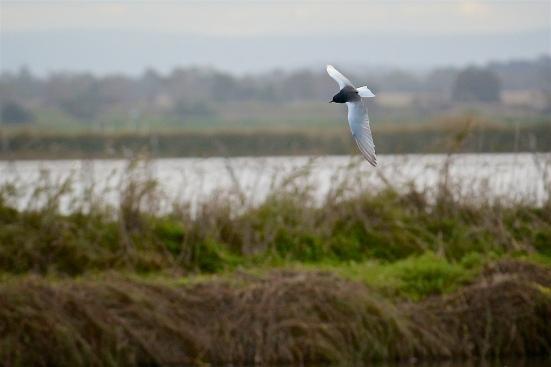 White-winged-Terns-08