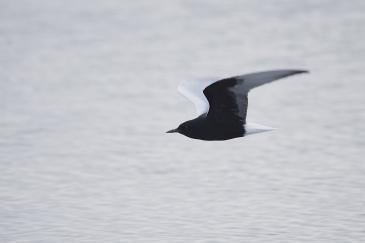 White-winged-Terns-10