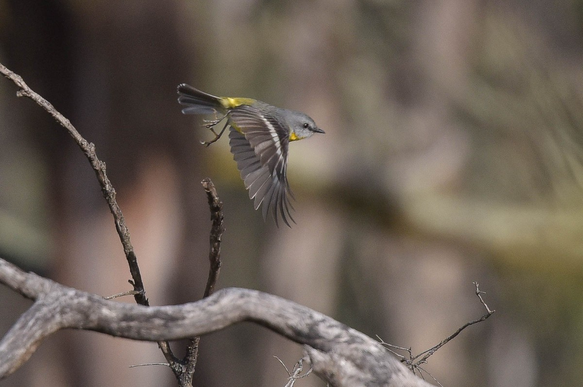 Eastern Yellow Robin, on the move