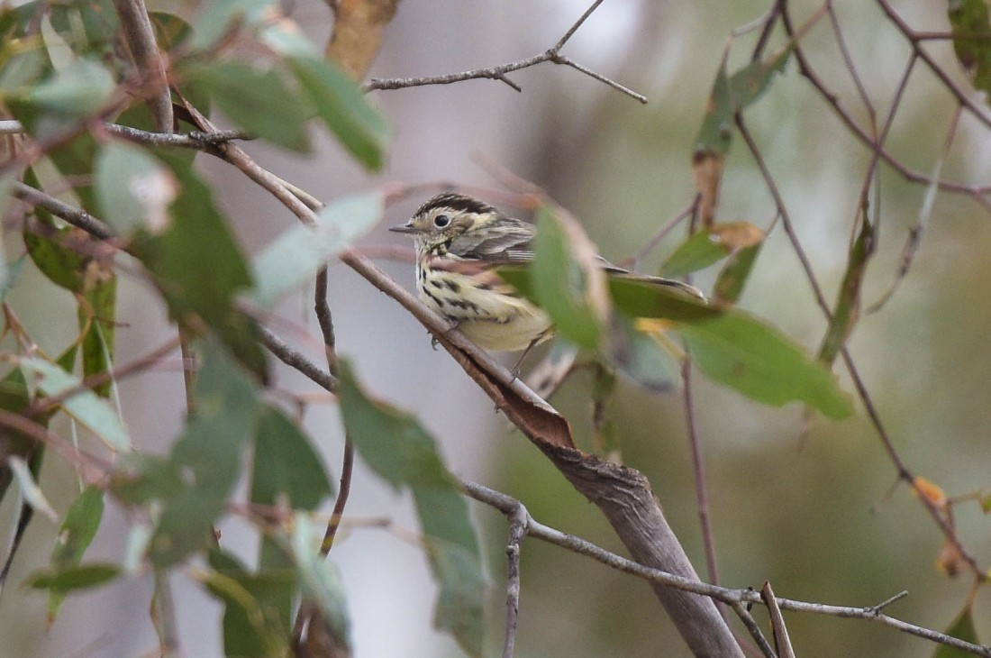 Speckled Warbler. A great find for today