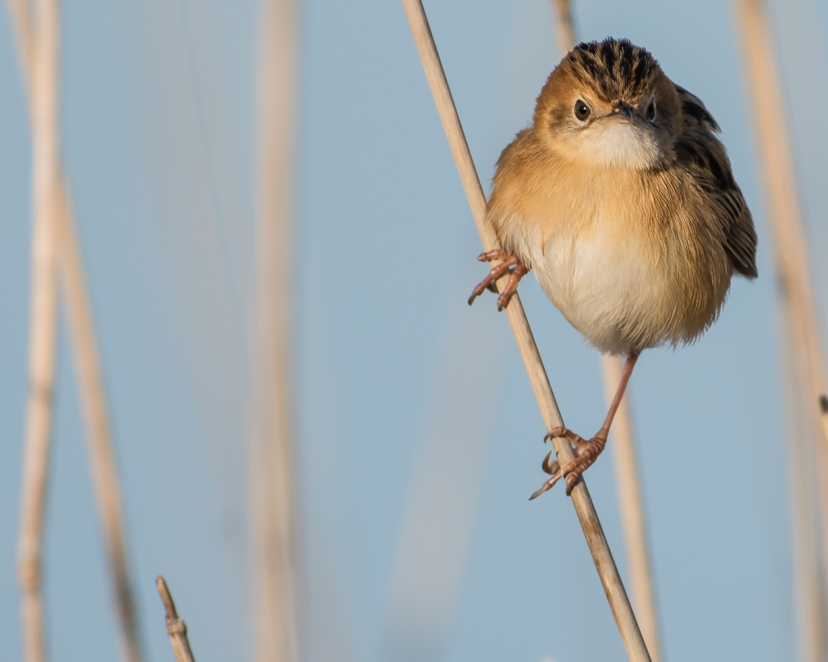 The king of the vertical perch. Golden-headed Cisticola. It has 'shimmied' up the grass stalk to get a better look at me.
