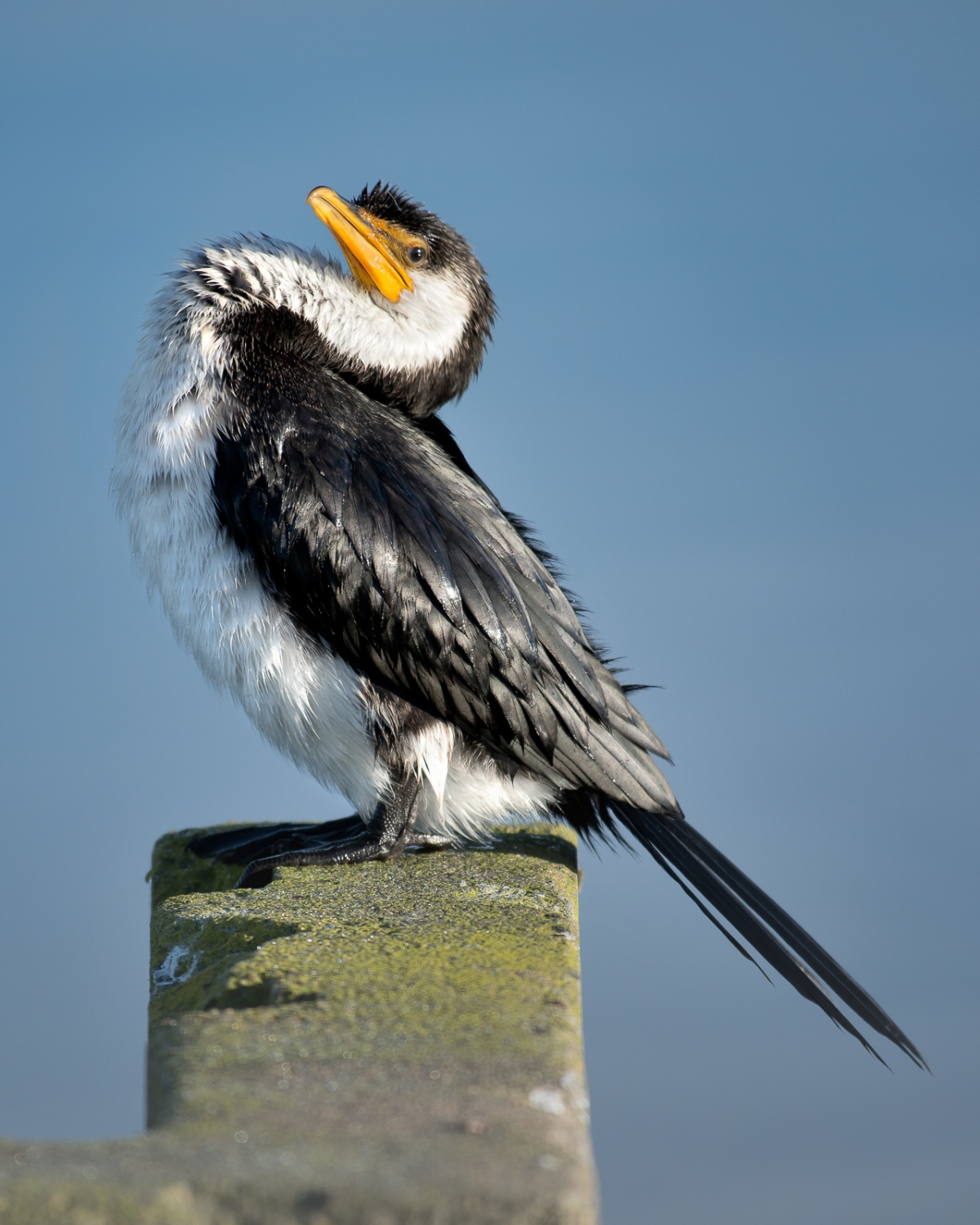 A very well known cormorant. I really think this bird has adopted a completely relaxed approach around humans