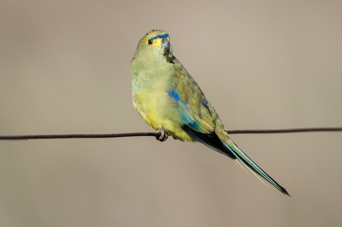 Wasn't in the mood to display its trademark Blue wing. I had to be content with a simple portrait. Blue-winged Parrot