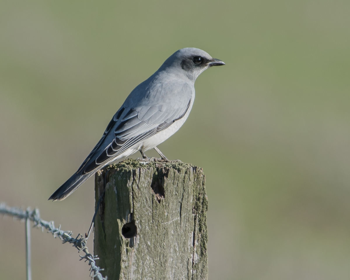 Sleek in black and grey. Black-faced Cuckoo Shrike