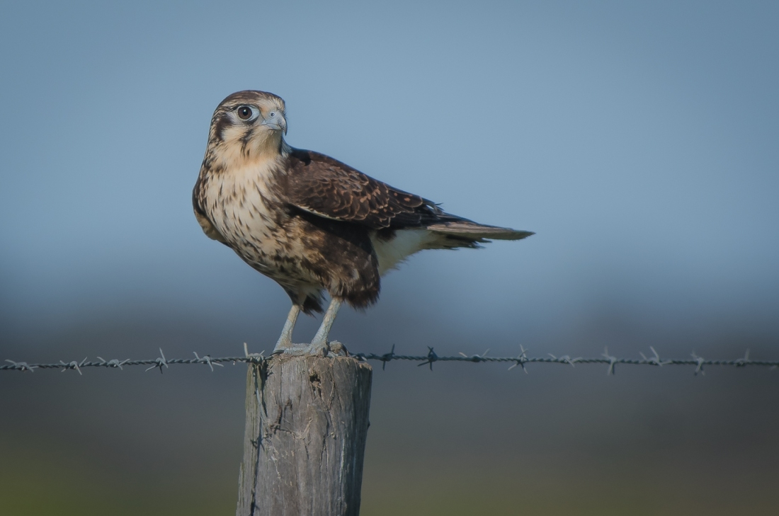 It's no suprise that Brown Falcon's are among my favourite birds. This charming bird is a new acquaitence for me. Undisturbed by my presence it is on alert for a vehicle approaching.