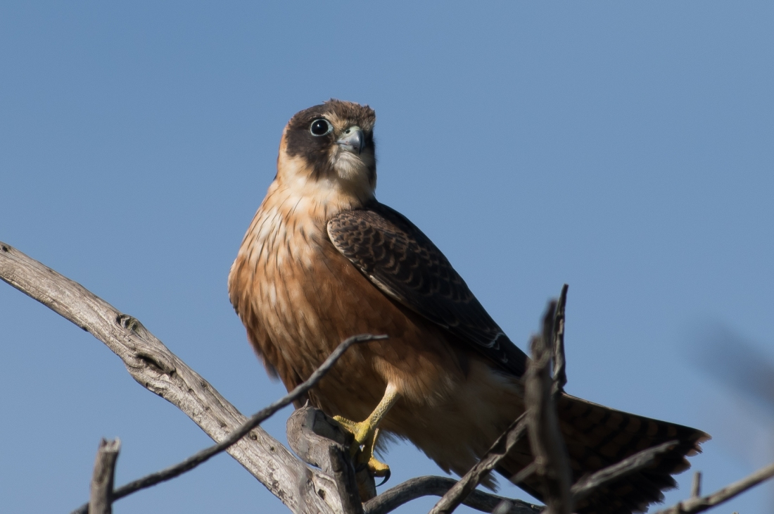 A story in every wing turn. Australian Hobby