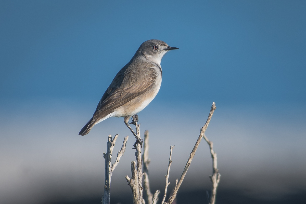 A charming and often hard to approach White-fronted Chat: Female