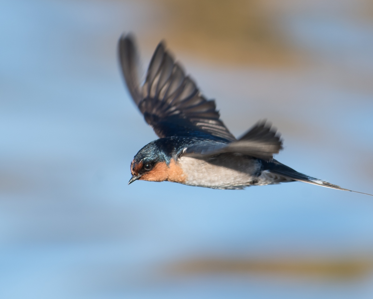 Super fast, super efficient and so challenging to photograph: Wecome Swallow