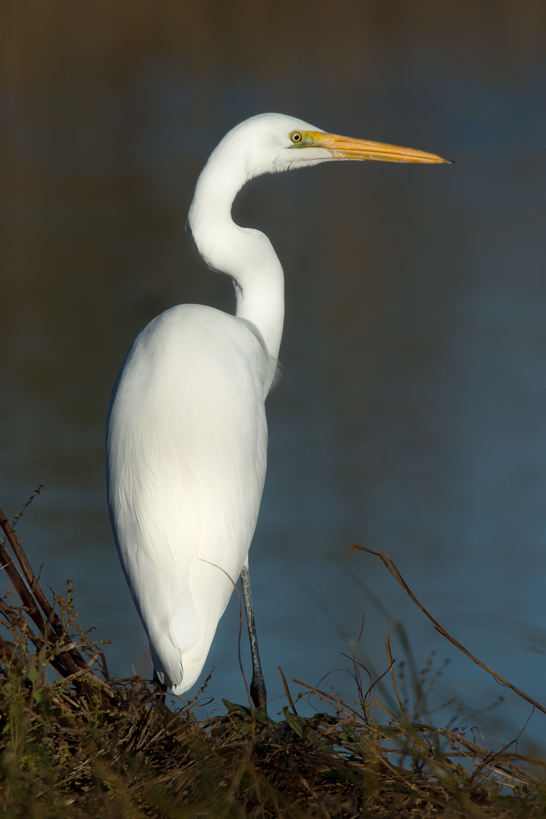 Great Egret. Elegance in harmony