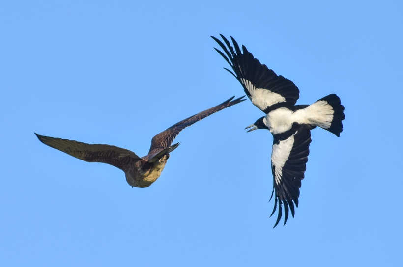 Brown Falcon, being seen off by an Australian Magpie