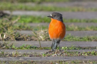 Male Flame Robin