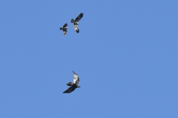 Wedge-tailed Eagle taking its pet Whistling Kites for an early morning flight.