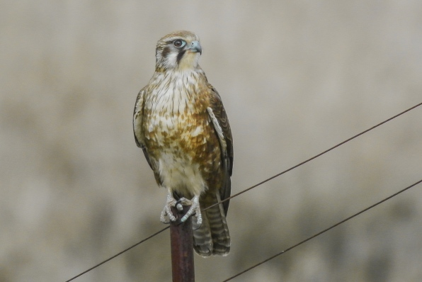 On our return journey she had propped back on the fence, and again its the 300mm with the TC 2.0