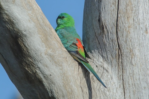 Red-rumped Parrot. Male.