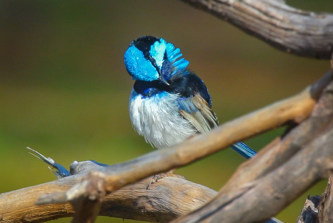 Superb Fairywren Male. Preening in the sunshine