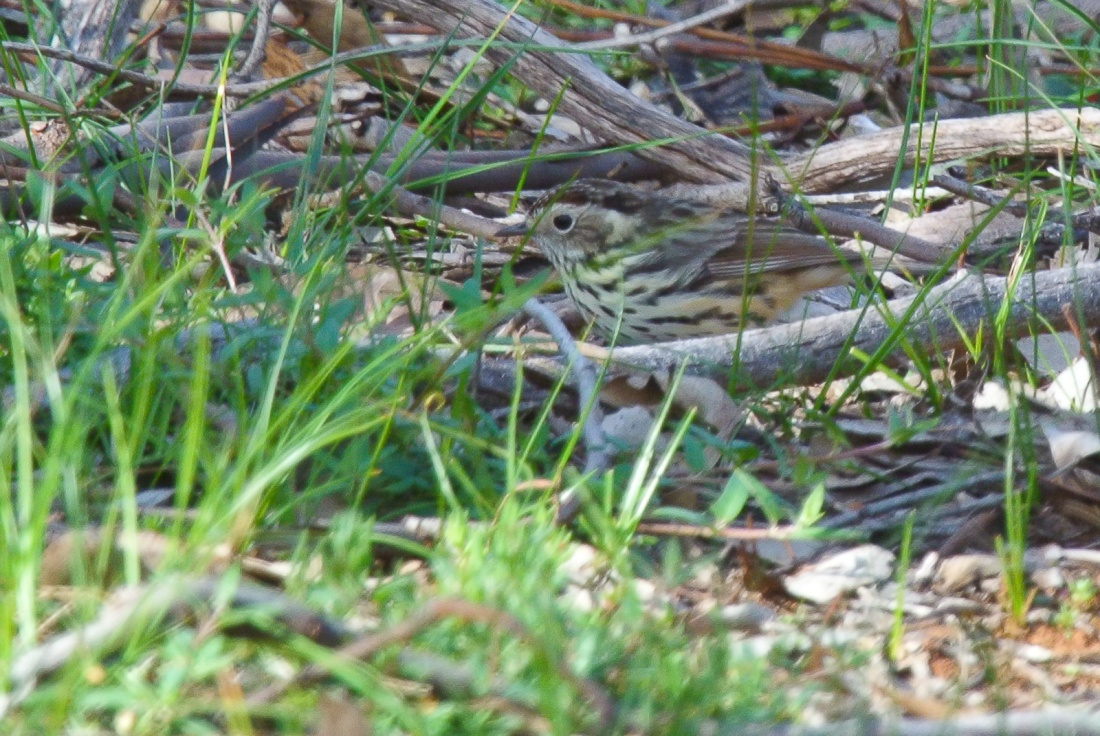 Find the Speckled Warbler