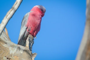 House minding Galah, in the sunshine