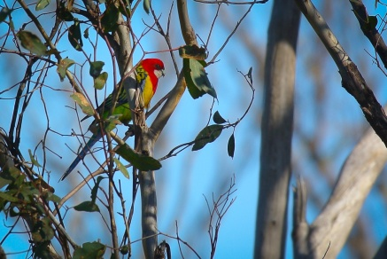 One of a number of Eastern Rosellas in dispute with some Crimson Rosellas. Probably over nesting rights.