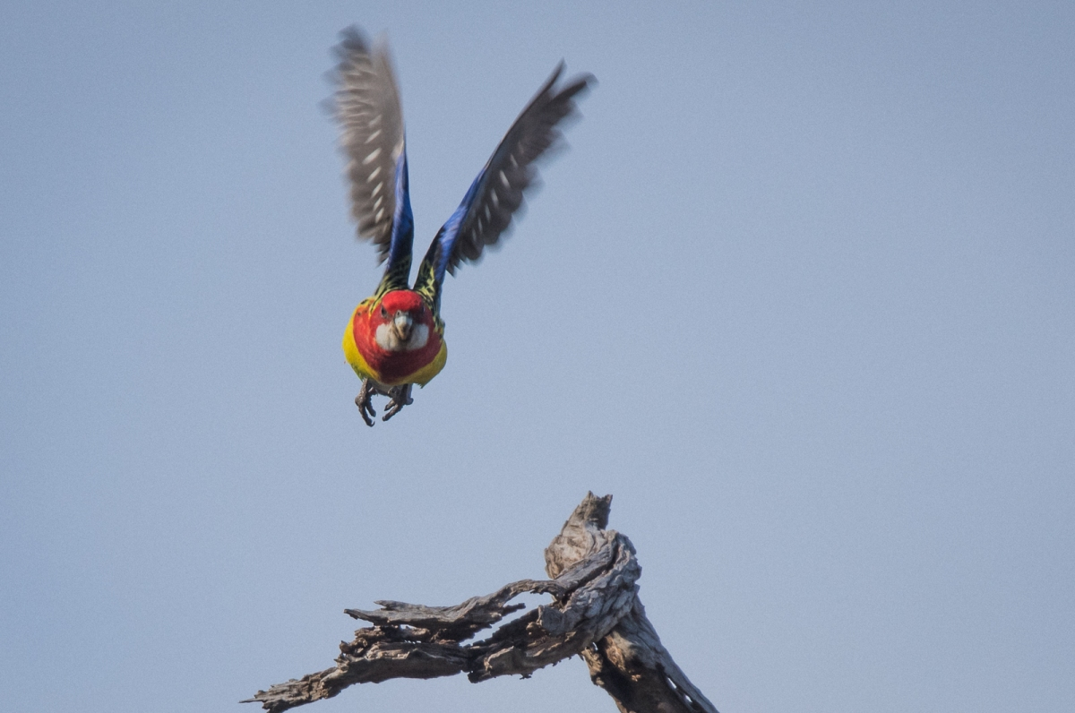 Eastern Rosella at Launch