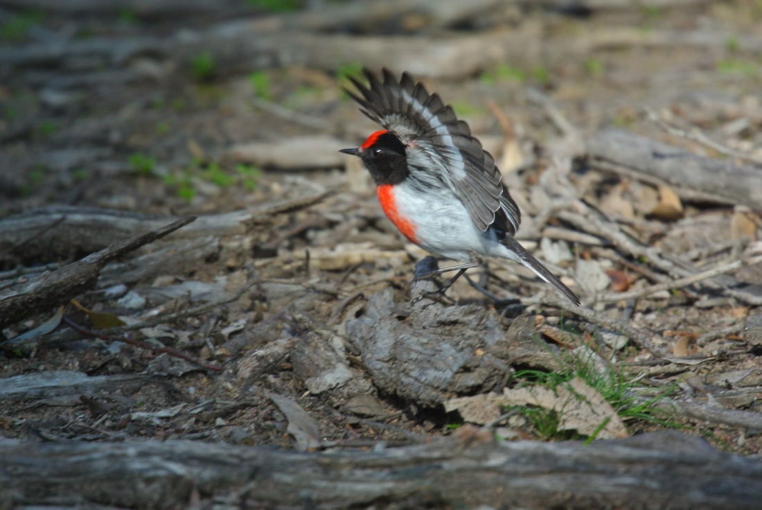 Red-capped Robins hunt by using a lot of wing action. It is believed, that it might either flush, or mesmerise the insects they are searching for.