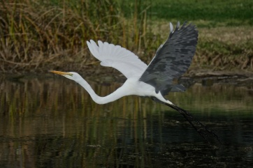 Great Egret. Nice to get some inflight practice with the 300mm lens Nikon 1 V3 CX70-300mm Zoom, ISO160, f/5.6, 1/1600, @300mm